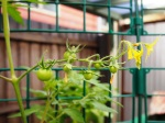 First fruit on the cherry tomato plant